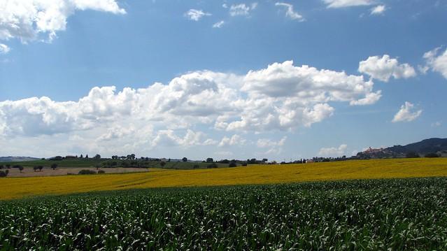 Umbrian Sunflowers