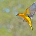 Bullock's Oriole In Flight - Explore #15 4/11/14 by goingslo