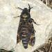 Small photo of Death's Head Hawkmoth. Acherontia atropos