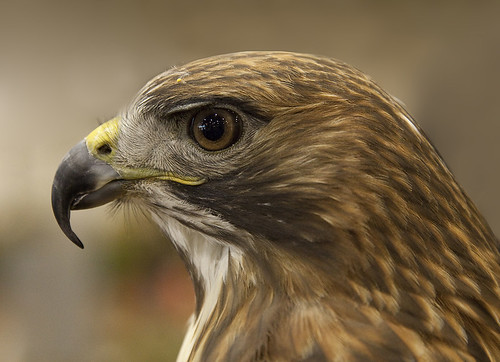 Red-tailed Hawk - Rotschwanzbussard