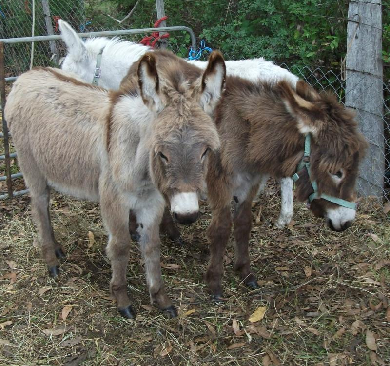 Irish Donkeys