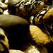 Chocolate dipped hazelnut crescents by LoungeCowboy