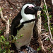 Jackass Penguin - Photo (c) Clive Reid, some rights reserved (CC BY-NC-ND)