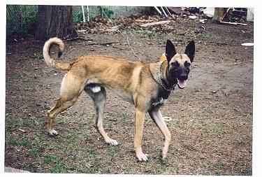 Belgian Malinois Greyhound Mix