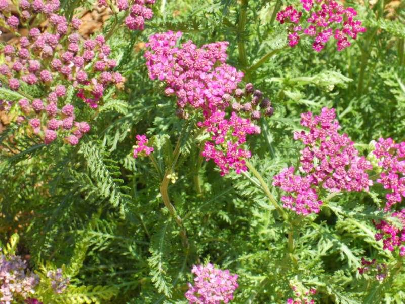 Achillea millefolium 'Cerise Queen' 2