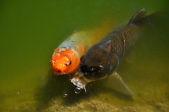 perch(0.0), goldfish(0.0), animal(1.0), carp(1.0), fish(1.0), yellow(1.0), fish(1.0), marine biology(1.0), koi(1.0), fauna(1.0), underwater(1.0),