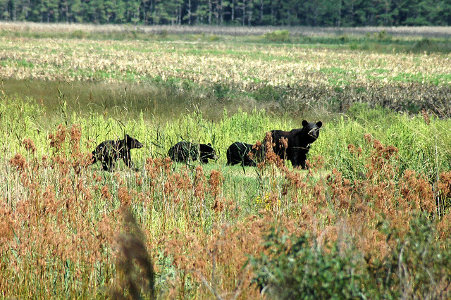 Black bear leading her cubs - Flickr CC usfwssoutheast