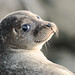 BWPA - Over The Shoulder Selkie (Seal) Shetland by john moncrieff