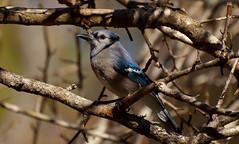 chickadee(0.0), animal(1.0), branch(1.0), nature(1.0), fauna(1.0), close-up(1.0), blue jay(1.0), beak(1.0), twig(1.0), bird(1.0), wildlife(1.0),