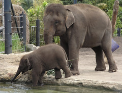 animal, indian elephant, elephant, zoo, elephants and mammoths, fauna, wildlife,