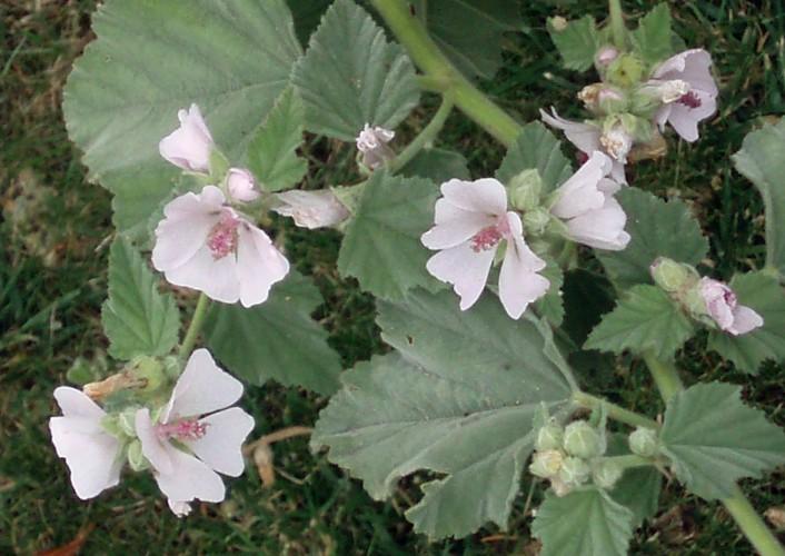 Althaea officinalis 5578861138_bc764c06de_o