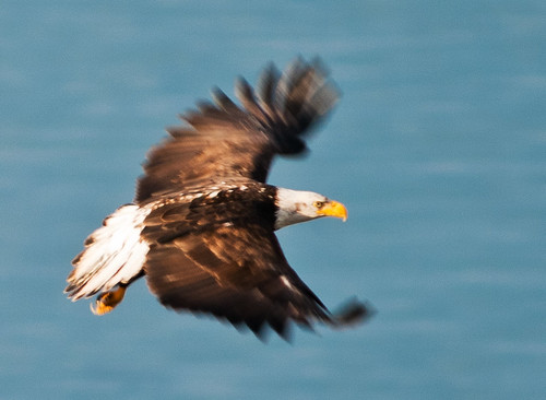 urban bird flying washington baldeagle mature raptor alki westseattle soaring haliaeetusleucocephalus fantasticnature