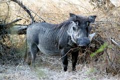domestic pig(0.0), horn(0.0), rhinoceros(0.0), animal(1.0), pig(1.0), fauna(1.0), pig-like mammal(1.0), warthog(1.0), wildlife(1.0),