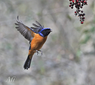 黃腹琉璃Rufous-bellied Blue Flycatcher