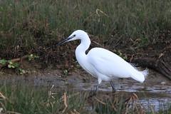great egret(0.0), wetland(1.0), animal(1.0), fauna(1.0), little blue heron(1.0), heron(1.0), pelecaniformes(1.0), beak(1.0), bird(1.0), wildlife(1.0), egret(1.0),