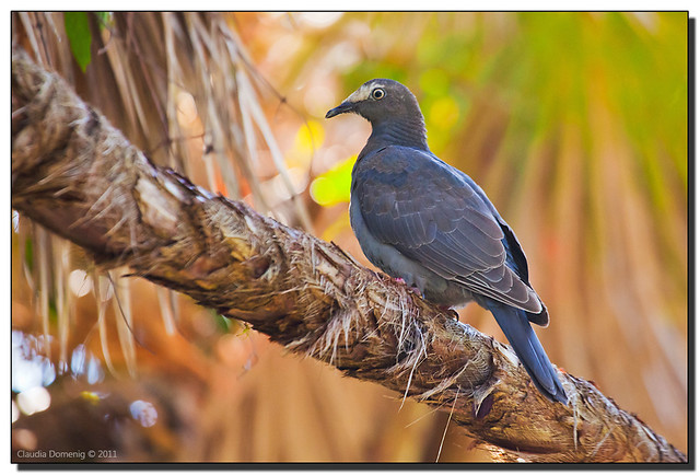 White crowned pigeon - photo#45