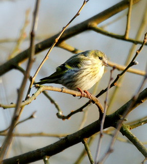 Siskin in a sunbeam!