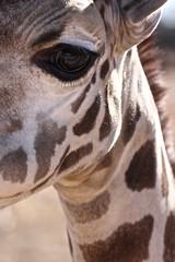animal, mane, giraffe, fauna, close-up, giraffidae,