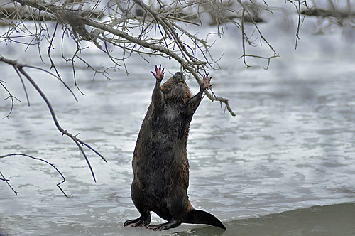 Reach for the sky varmit.(a beaver) by Natures Caretaker