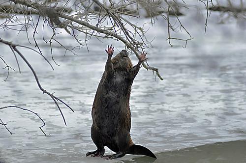 Reach for the sky varmit.(a beaver) by Natures Caretaker
