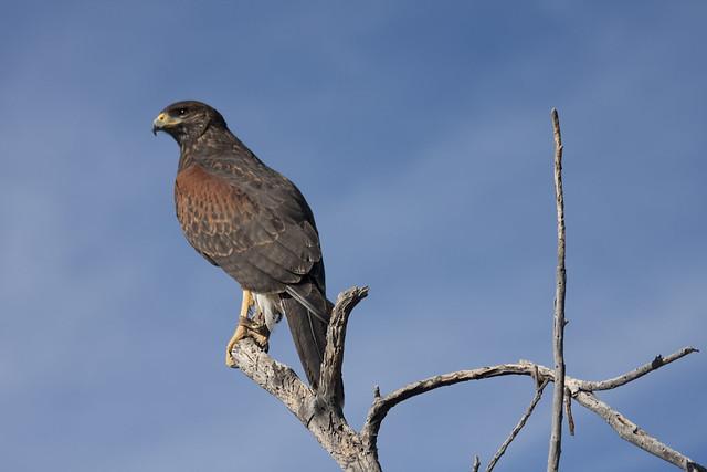 Harris Hawk at Sonoran Desert Museum 2