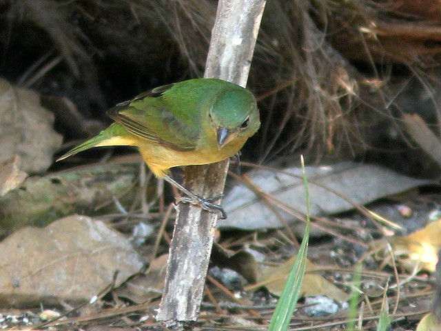 Painted Bunting female 20110220