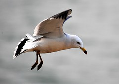 animal, charadriiformes, wing, fauna, great black-backed gull, european herring gull, beak, bird, seabird,