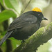 Tawny-crested Tanager, Esmeraldas