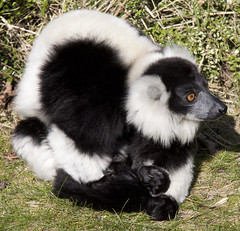skunk, animal, lemur,