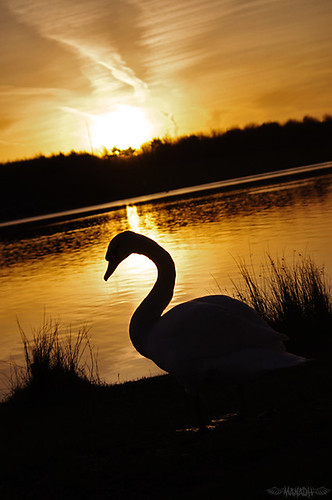 Sunrise and the Swan (084 // 11/03/11)