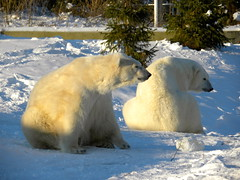 animal, arctic, winter, snow, polar bear, polar bear, mammal, ice, fauna, bear,