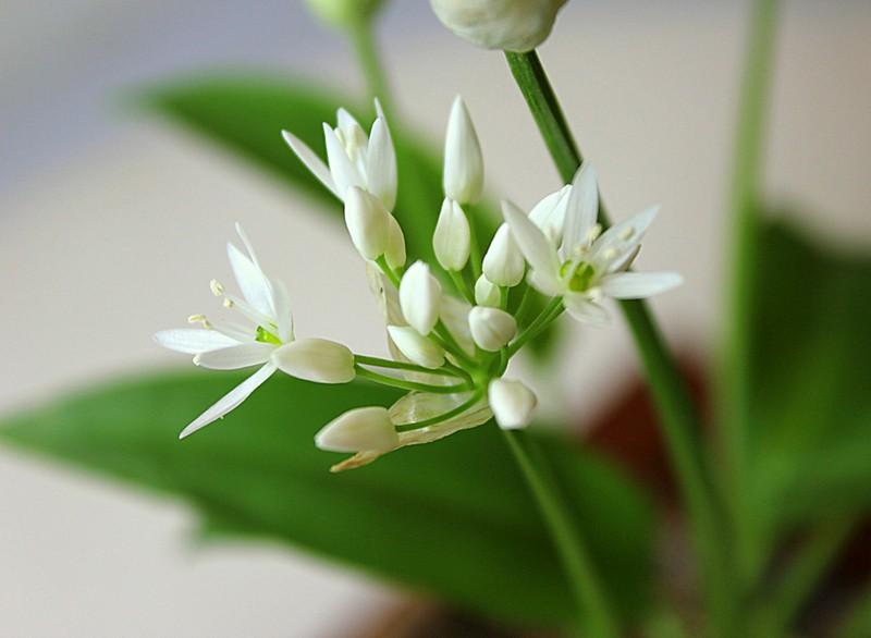 wild garlic accent 14002625401_110d9323fd_b