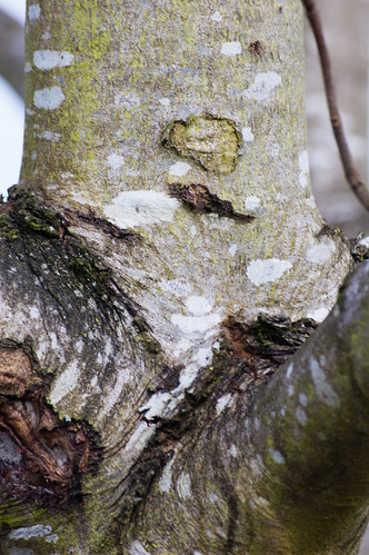 Lichens on a birch trunk
