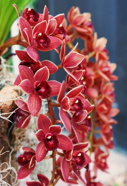 South Jersey Orchid Society (Cymbidium Dorothy Stackstill)