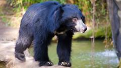 animal, american black bear, zoo, mammal, fauna, sloth bear, bear, wildlife,