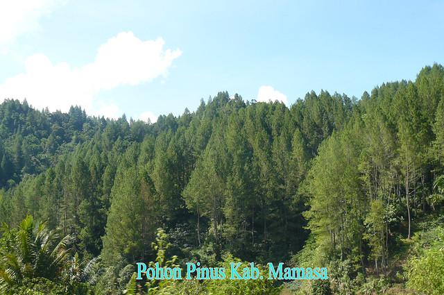 Pohon Pinus