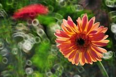 Gerbera Daisy 太陽菊 ♪♫♩