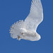 Snowy Owl in Flight DSC_9637