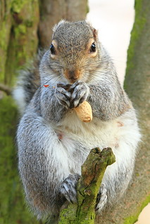 Sefton Park ~ The Squirrel Known As ' Spock '  !