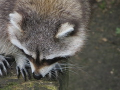 animal(1.0), raccoon(1.0), mammal(1.0), fauna(1.0), close-up(1.0), whiskers(1.0), viverridae(1.0), procyon(1.0), wildlife(1.0),