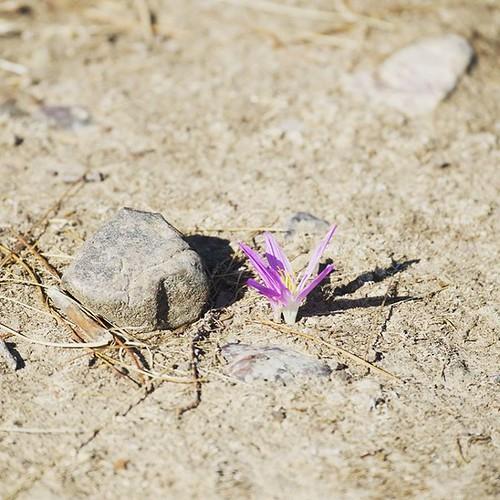 Una piedra en tu camino o una flor en tu camino! ¿Tú eliges? #alcoba #castillalamancha #igersciudadreal #flor #quitameriendas