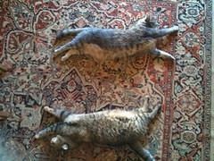 lynx(0.0), coyote(0.0), viverridae(0.0), animal(1.0), small to medium-sized cats(1.0), pet(1.0), mammal(1.0), fauna(1.0), cat(1.0), wild cat(1.0), bobcat(1.0),