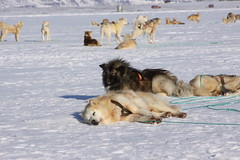 5391571793 e8d55f5c11 m Do you think dog sledding is cruel to the dogs?