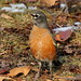 American Robin on Ground