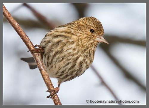 birds bc pinesiskin carduelispinus westcreston