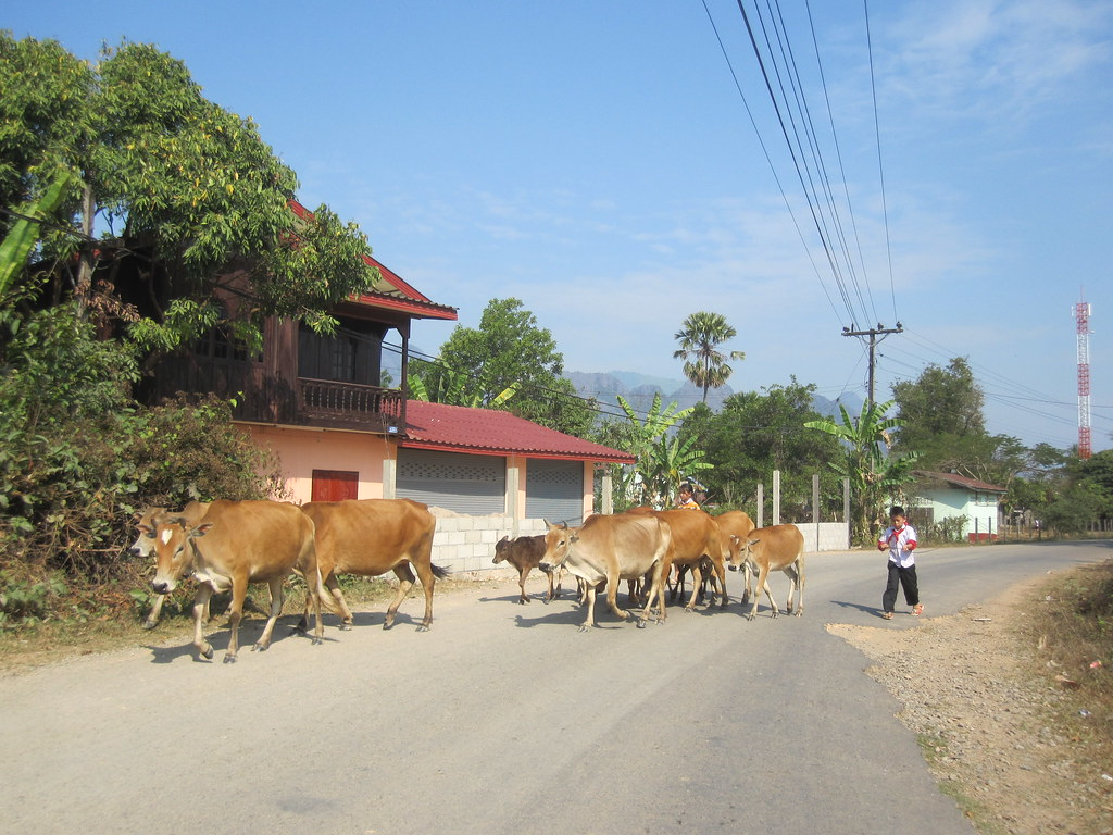 Cows In The Road Vang Vieng