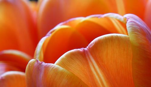 Macro Tulip 5