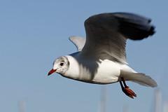 gull 56