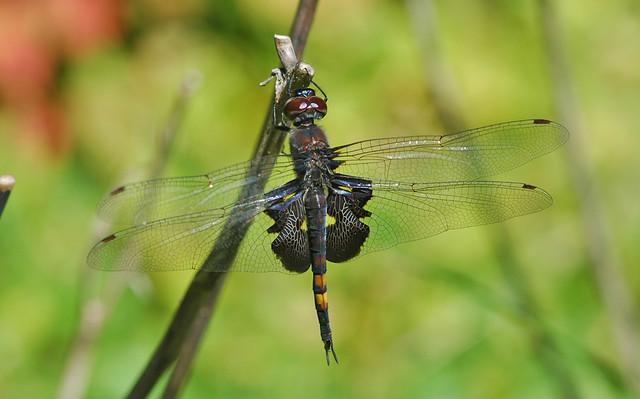 Libellulidae skimmers
