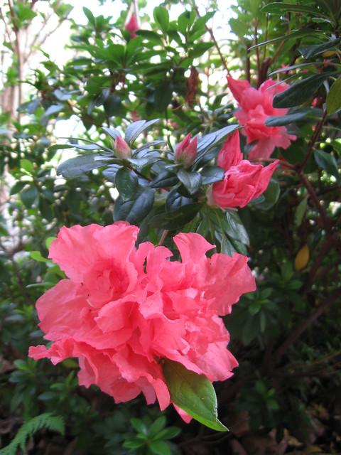 Pink Azalea 0311